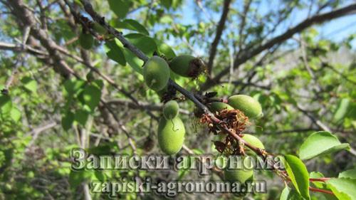 Весенний уход за абрикосом