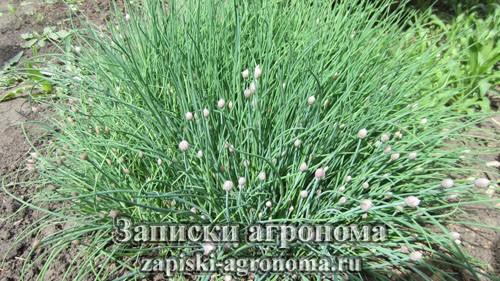 Шнитт-лук съедобное растение