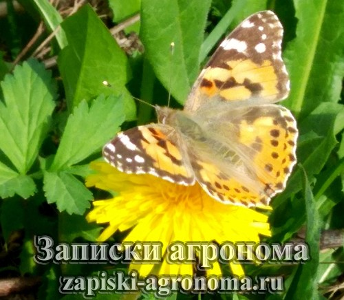 Бабочка репейница или павлиний глаз