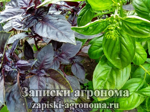 базилик растение отпугивающее комаров