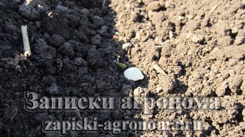 Особенности выращивания тыкв