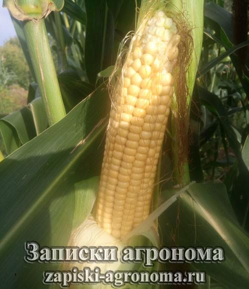 Спелый початок кукурузы