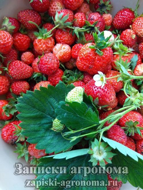 поспевшие ягоды