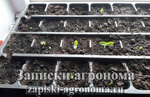 Выращивание огурцов рассадным способом