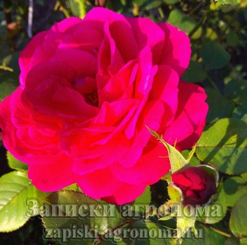 Как правильно ухаживать за розами в саду