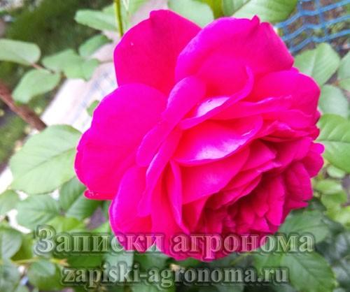 Как вырастить розы в саду правильно