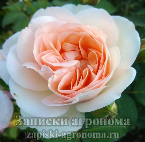 Бутон чайно-гибридной розы