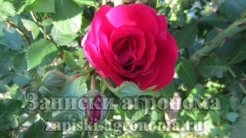 Бутон плетистой розы