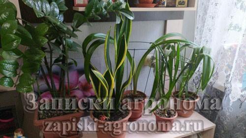 Многолетнее корневищное травянистое бесстебельное растение