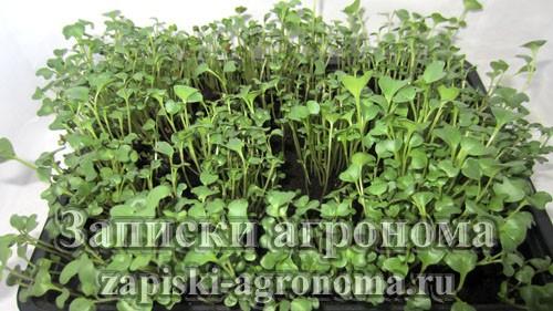 Микрозелень брокколи выращивание