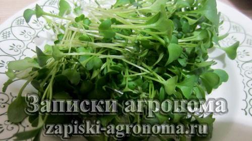 Микрозелень брокколи после сбора урожая