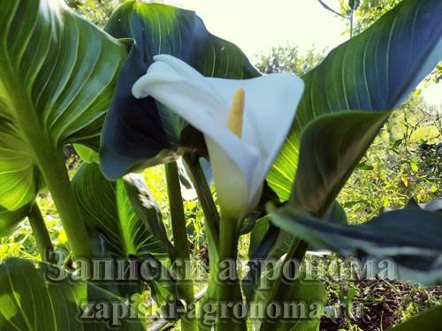 Каллы красивые цветы