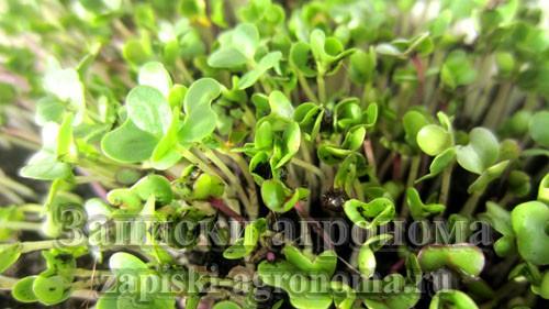 Сочные ростки микрозелени