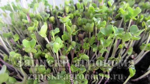 Как вырастить микрозелень капусты кольраби на подоконнике
