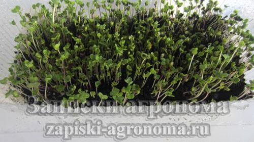 Выращивание микрозелени в контейнере