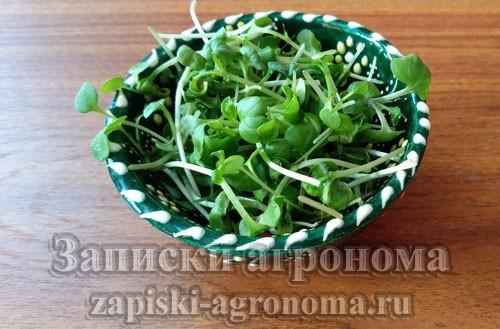 Как вырастить микрозелень капусты кольраби и собрать урожай
