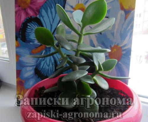 Как размножить денежное дерево листом