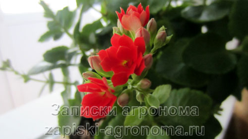 Цветы каланхоэ очень красивые