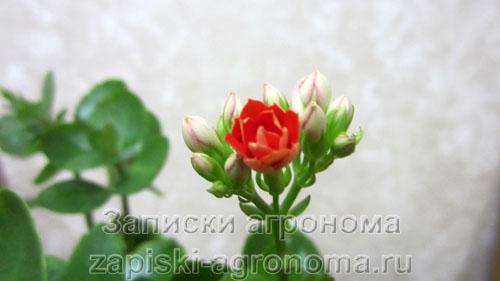 Первый раскрывшийся цветок