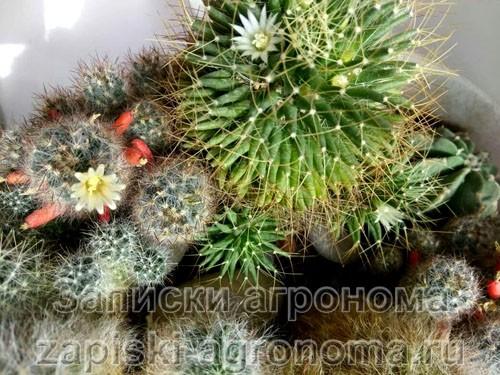 Как ухаживать за кактусом в домашних условиях разновидности кактусов