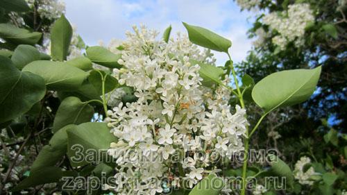Сорта цветущей сирени